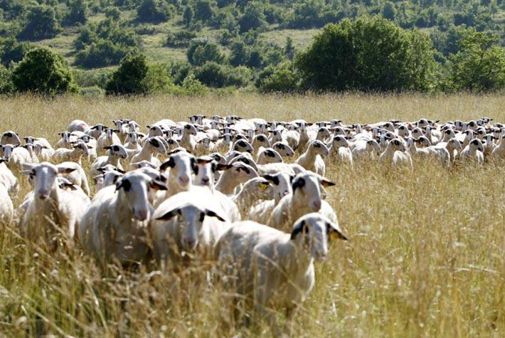 agneau fermier label rouge quercy