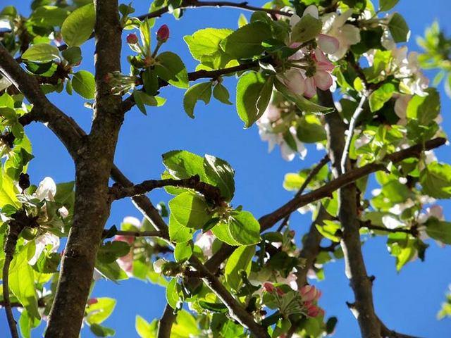 cerisier fleurs jardin